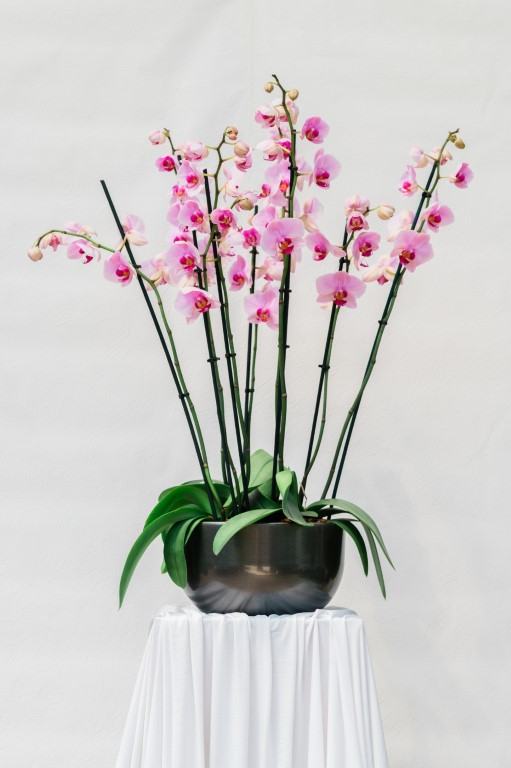 PHALENOPSIS IN ROUND POT - PINK - 80x40cm