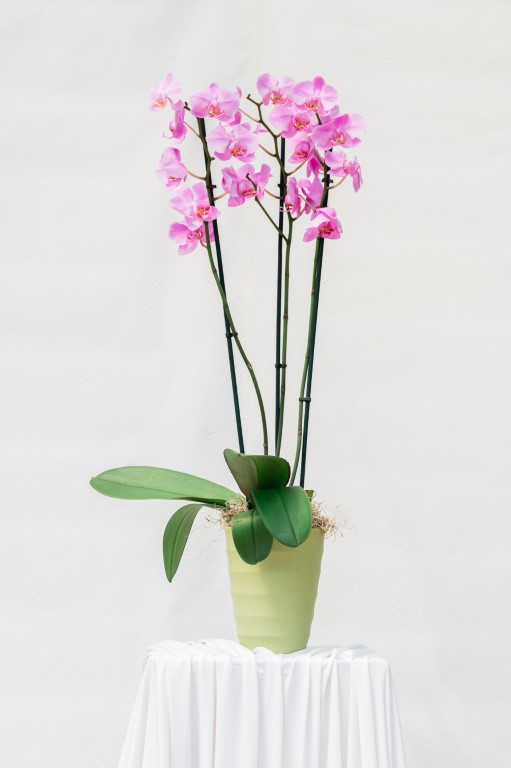 PHALENOPSIS IN POT - PINK - 75x15cm