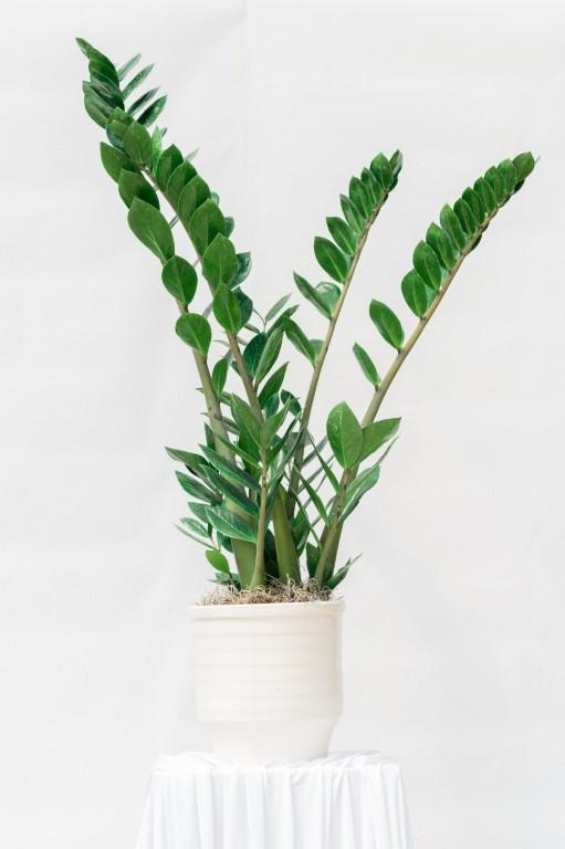 ZAMIA INDOOR PLANT - GREEN - 95x40cm