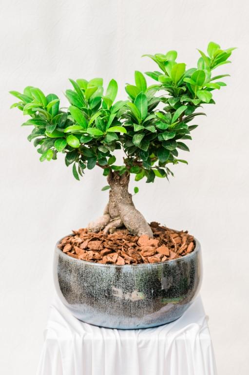 MINI GOOD LUCK BONSAI - GREEN - 50x40cm