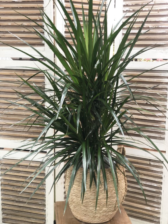 Dragon Plant Marginata with Pot