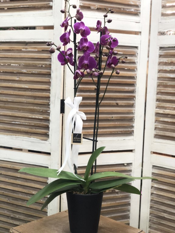 Purple Orchid in a Black Pot