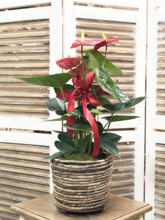 Anthurium Plant in a Basket