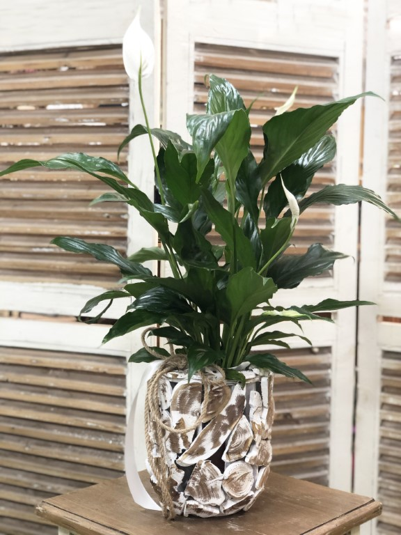Spathiphyllum Plant in a Wooden Pot