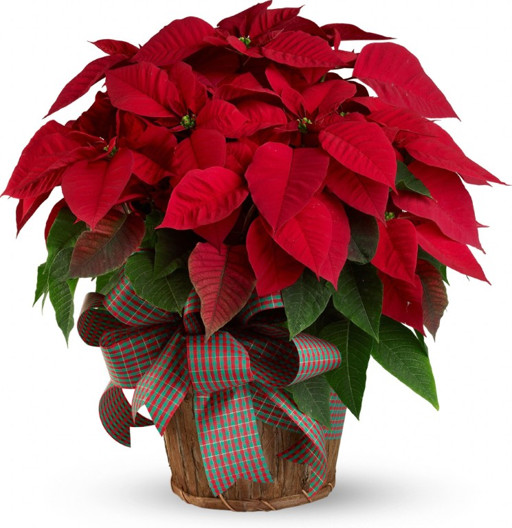 Christmas - Poinsetia in a pot - Red / White