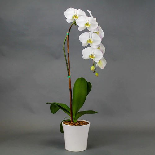 Single orchids phanelopsis - White