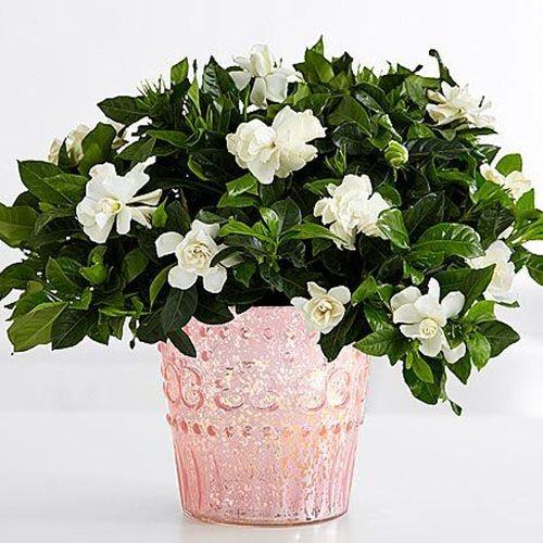 Gardenia in a pot