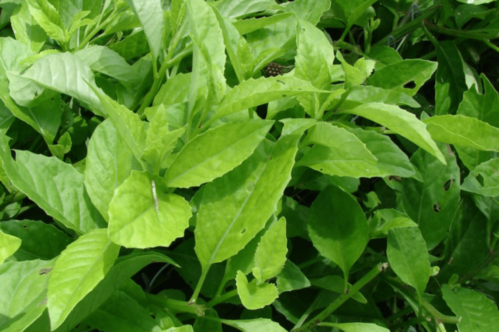 Longevity Spinach - Τζινουρα