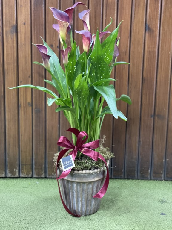 Callas in a Pot