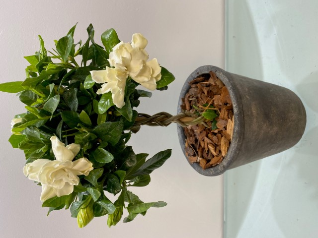 Gardenia Plants Nice Pot