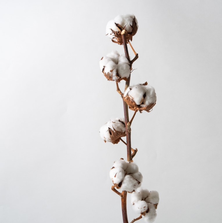 Cotton Flower Stem