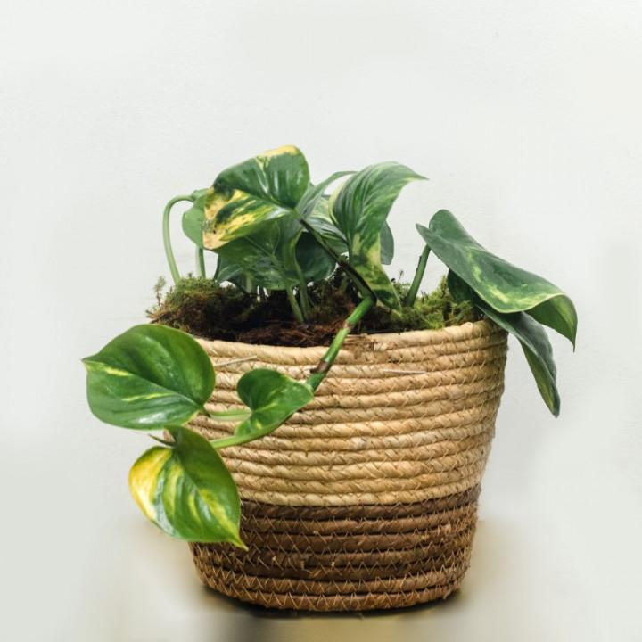 Pothos Plant Small