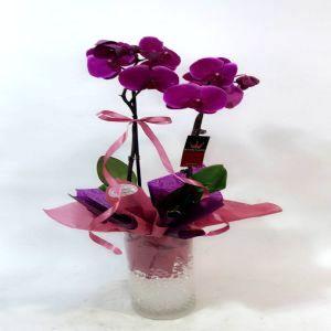 Premium Purple Orchid