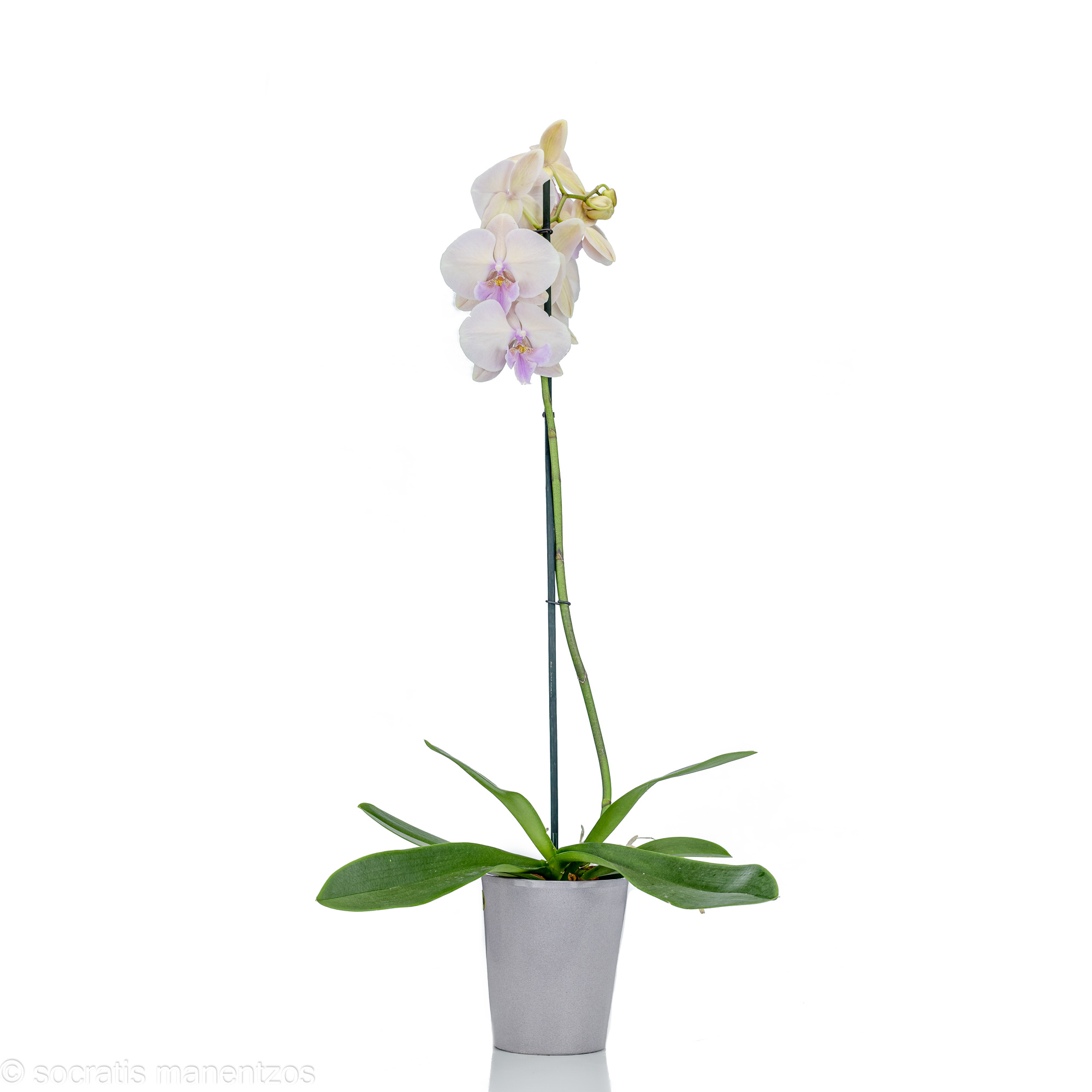 One stem peach orchid