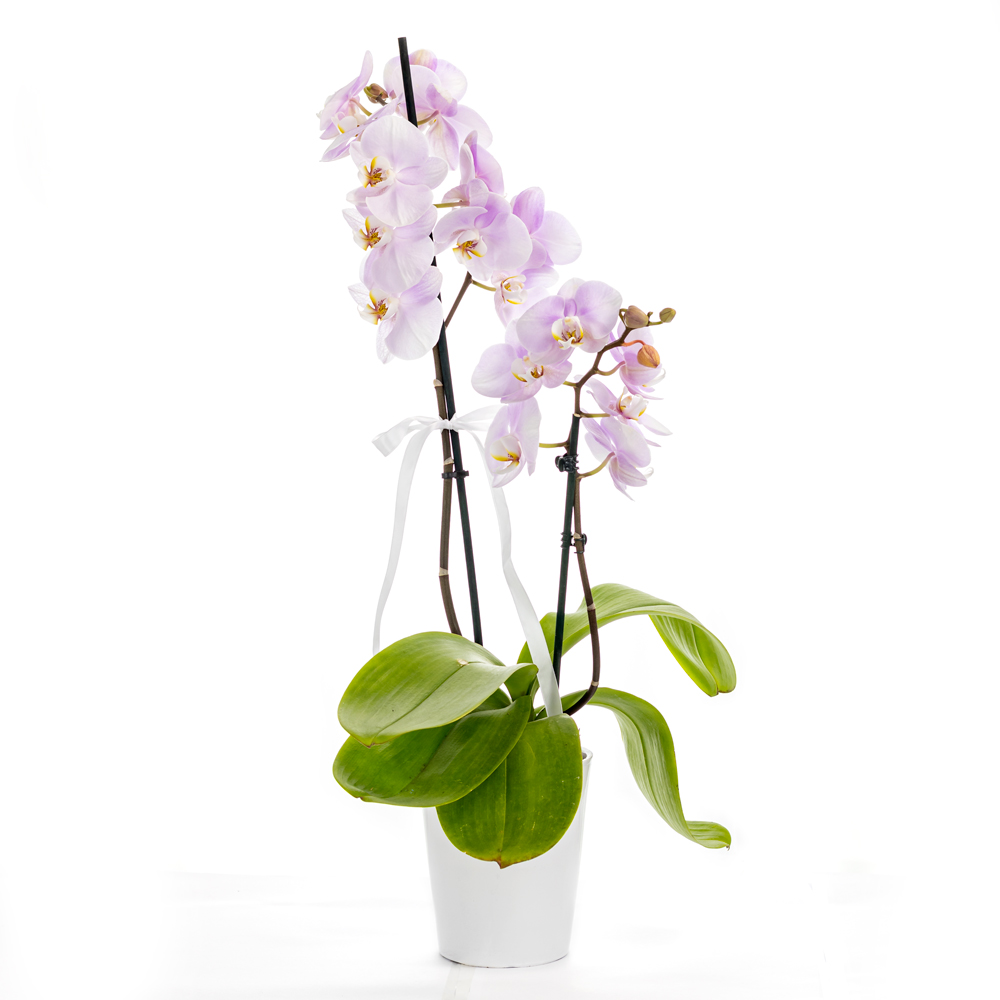 Two stem soft peach orchid