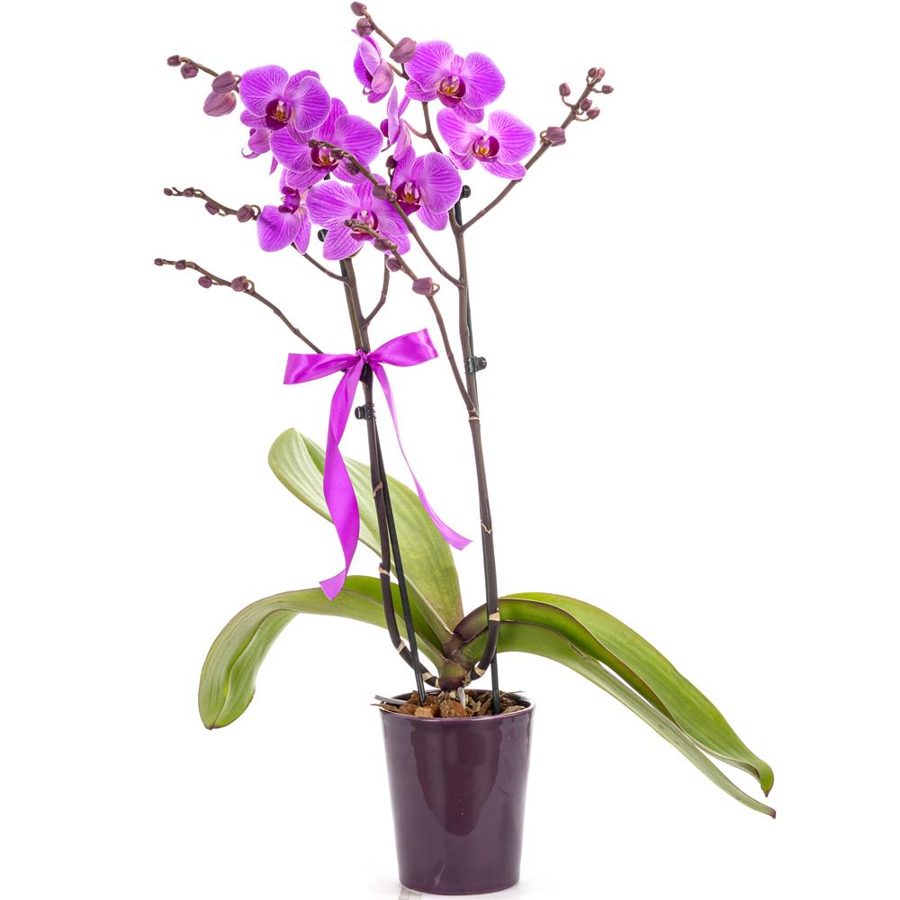 Two stem purple orchid