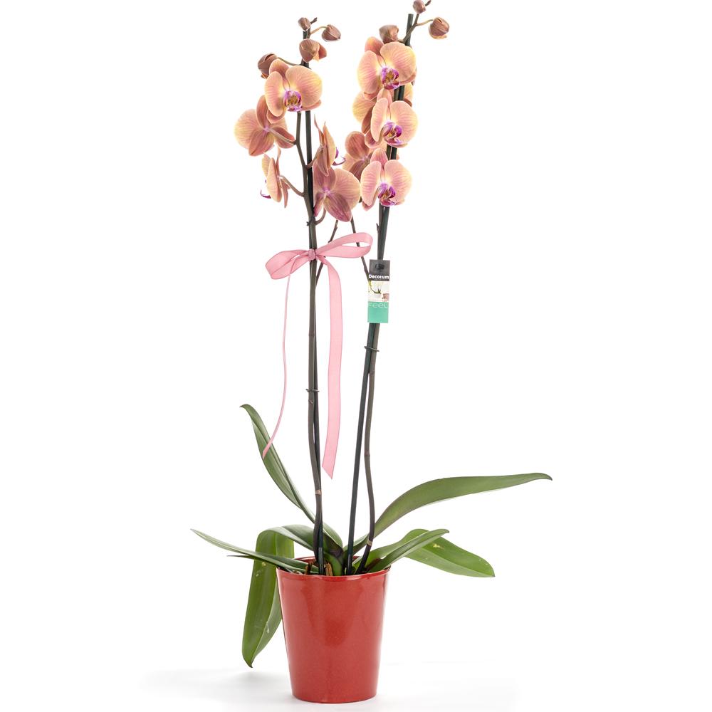 Two stem orange orchid