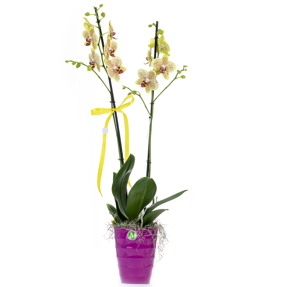 Two stem yellow orchid