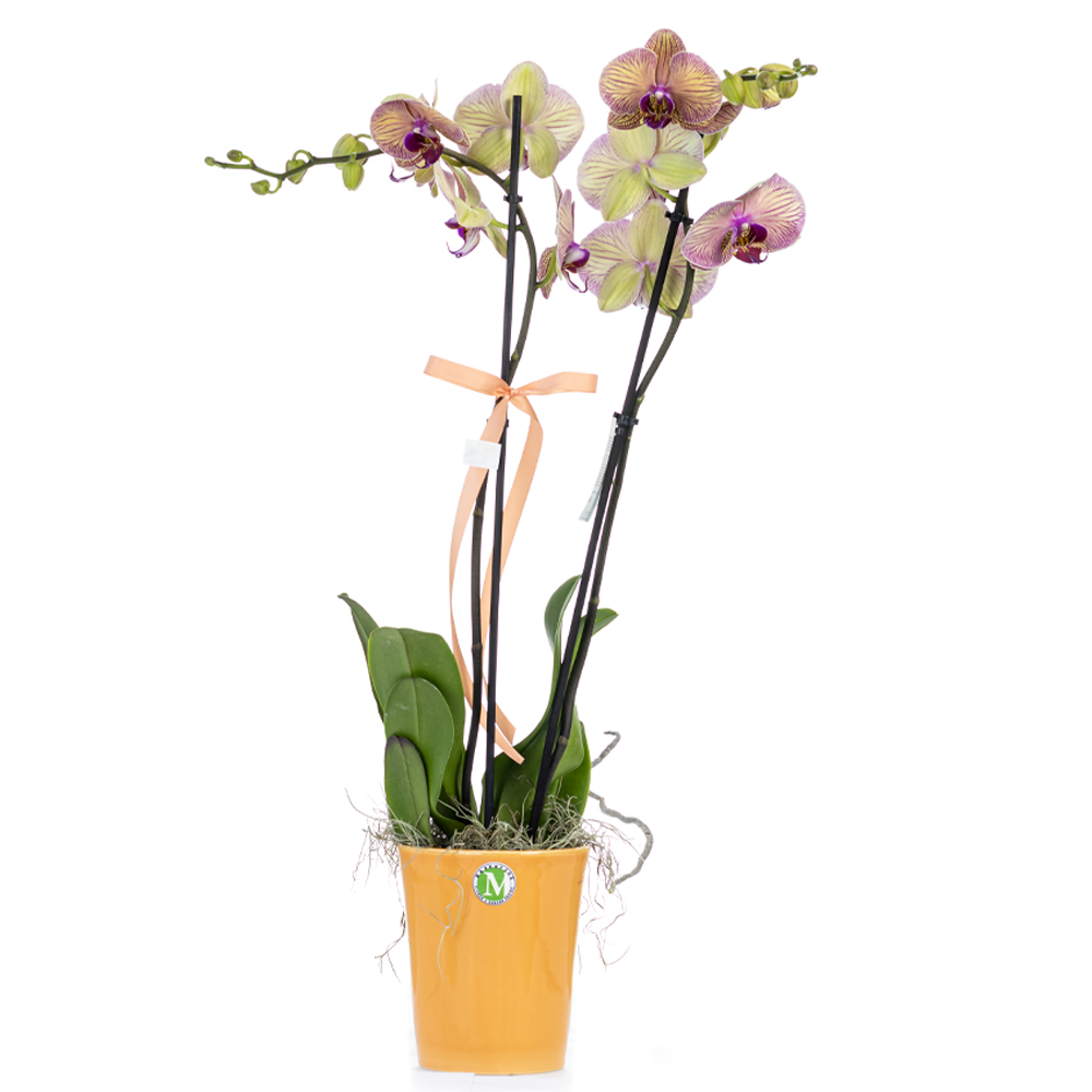 Two stem yellow & purple orchid