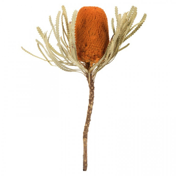 Stem of banksia