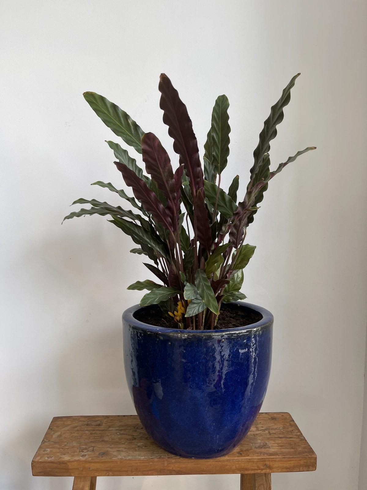 Calathea in blue ceramic pot