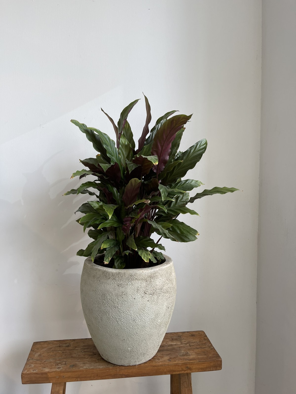 Calathea in grey ceramic pot