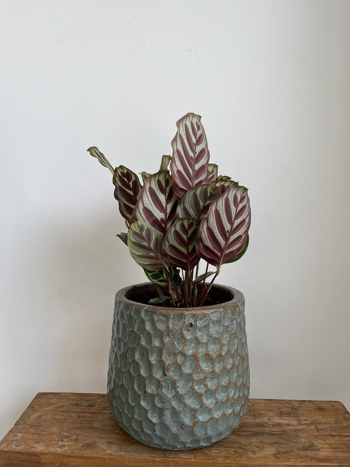 Calathea in ceramic pot
