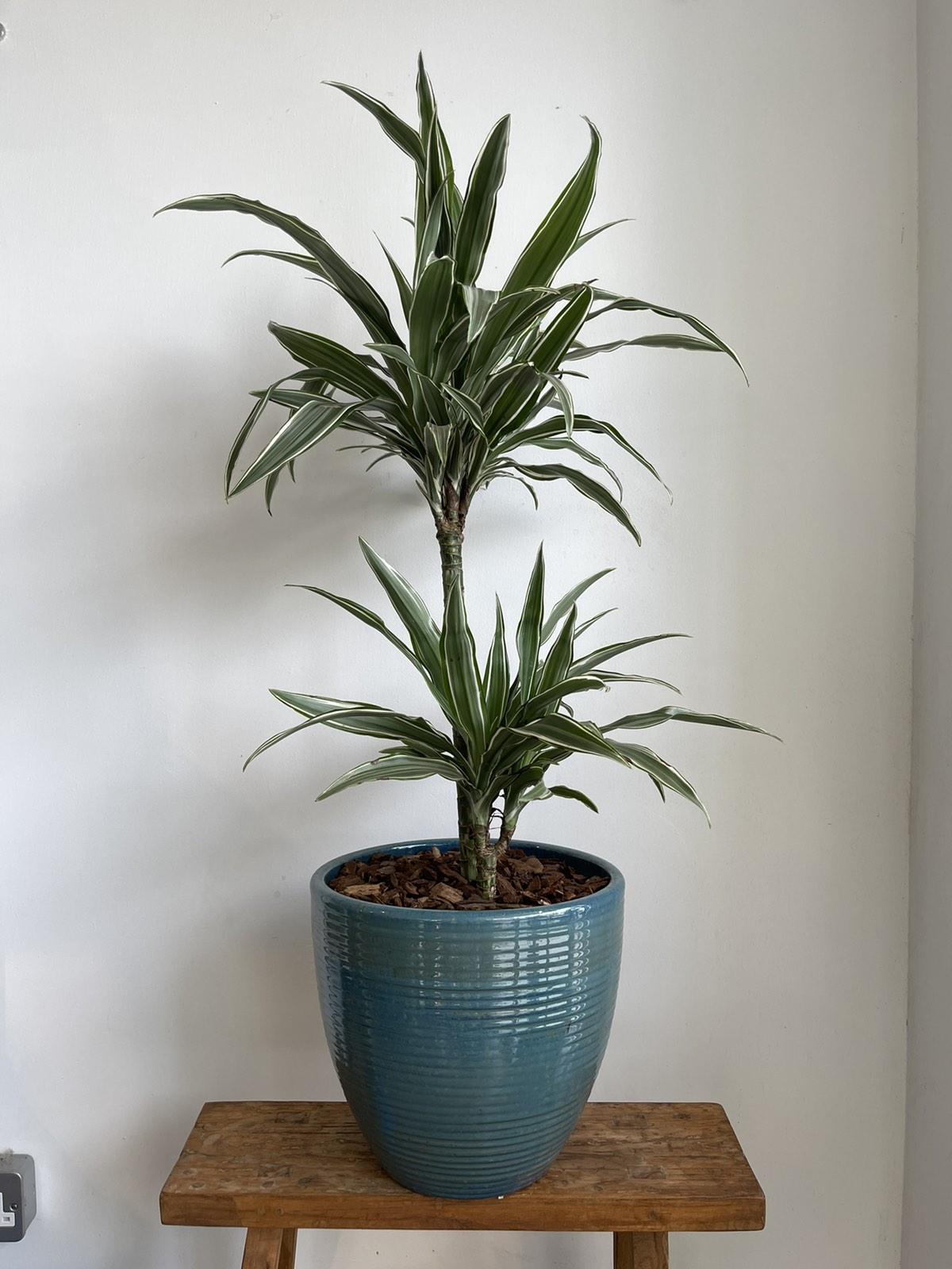 Dracanea in turquoise ceramic pot