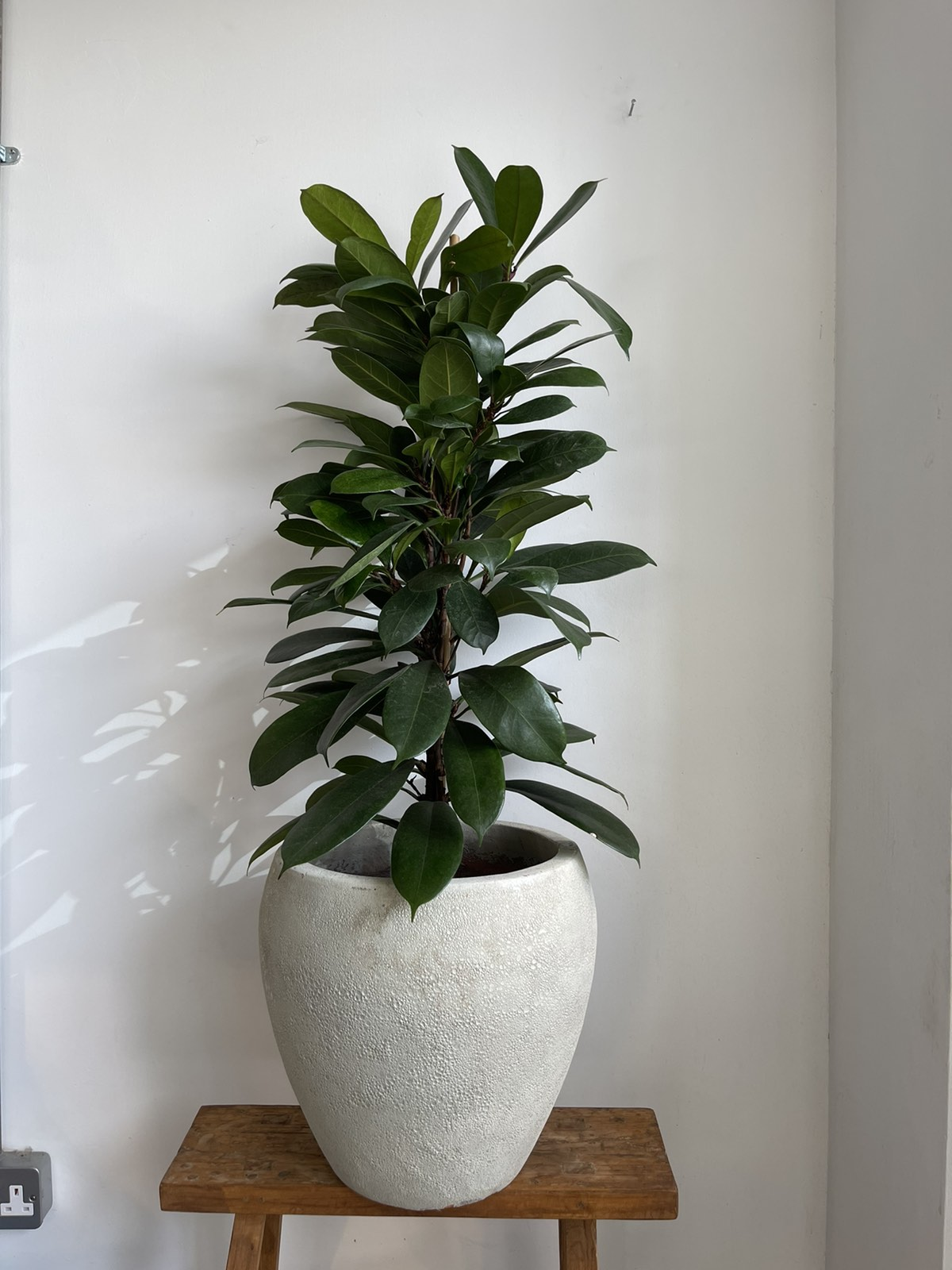Ficus in white ceramic pot