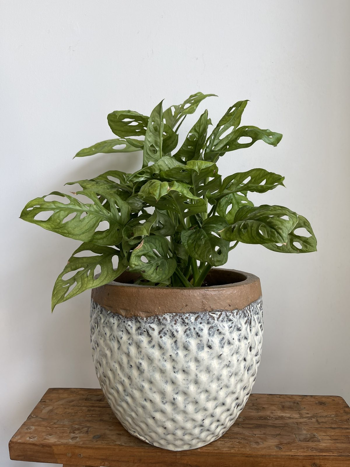 White ceramic pot with monstera monkey