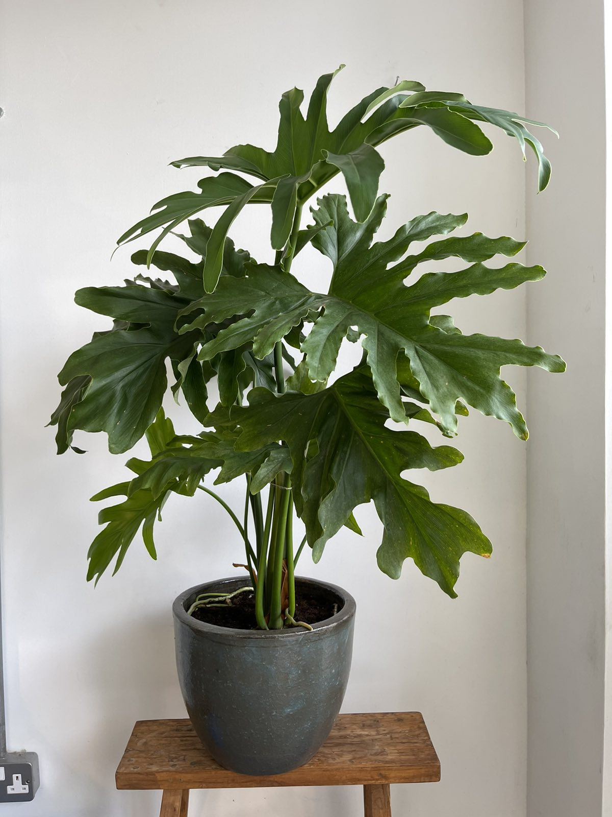 Philodendron in dark green pot