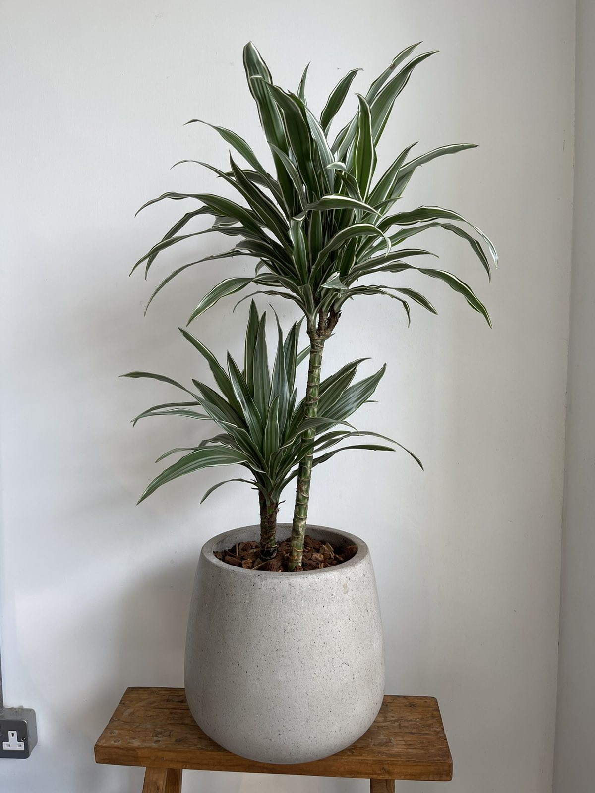 Dracaena in cement pot