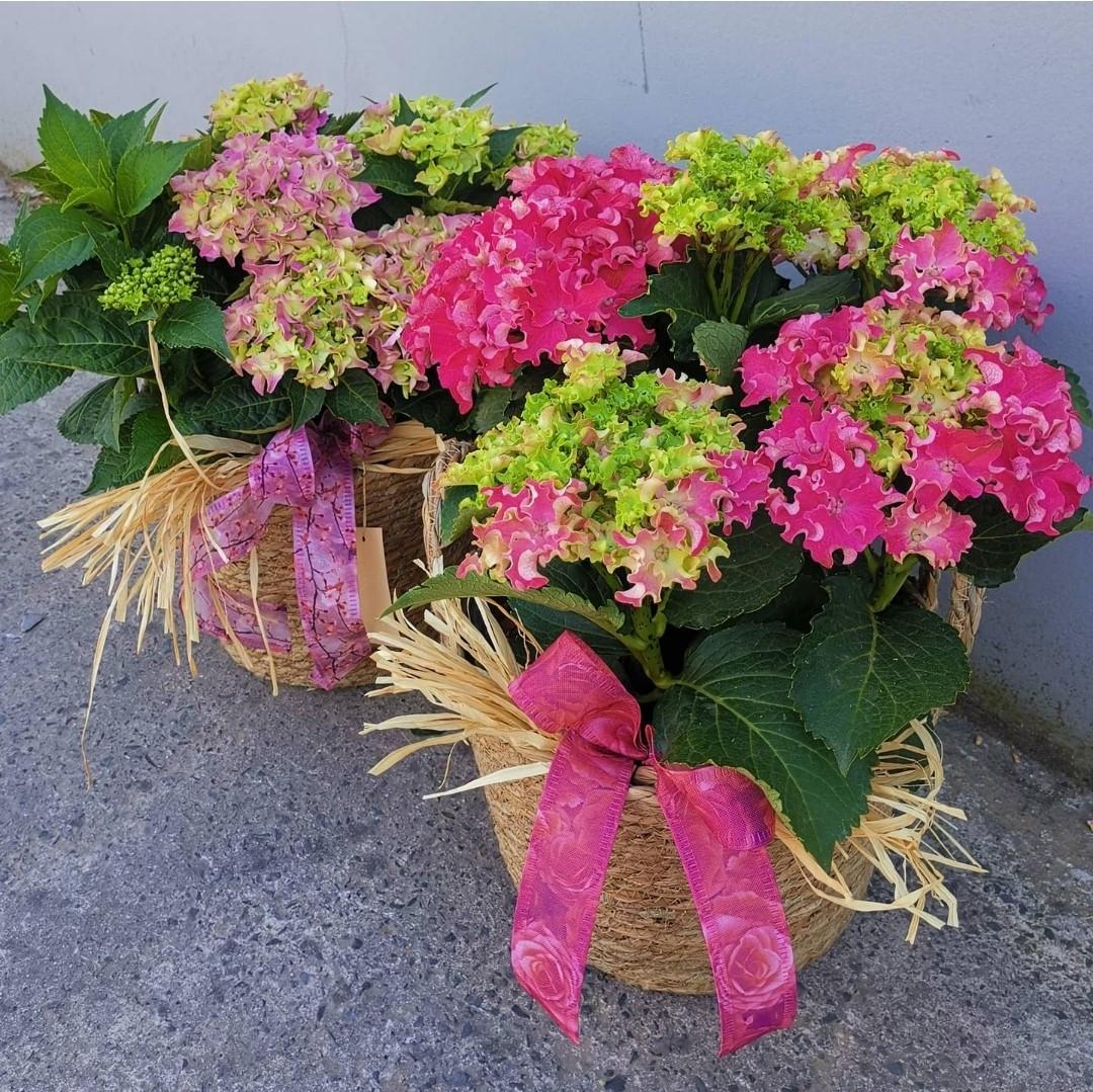 Hydrangea in a Basket