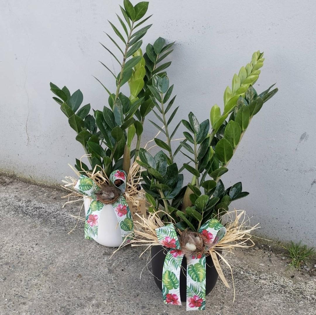 Zamioculcas in a Ceramic Pot