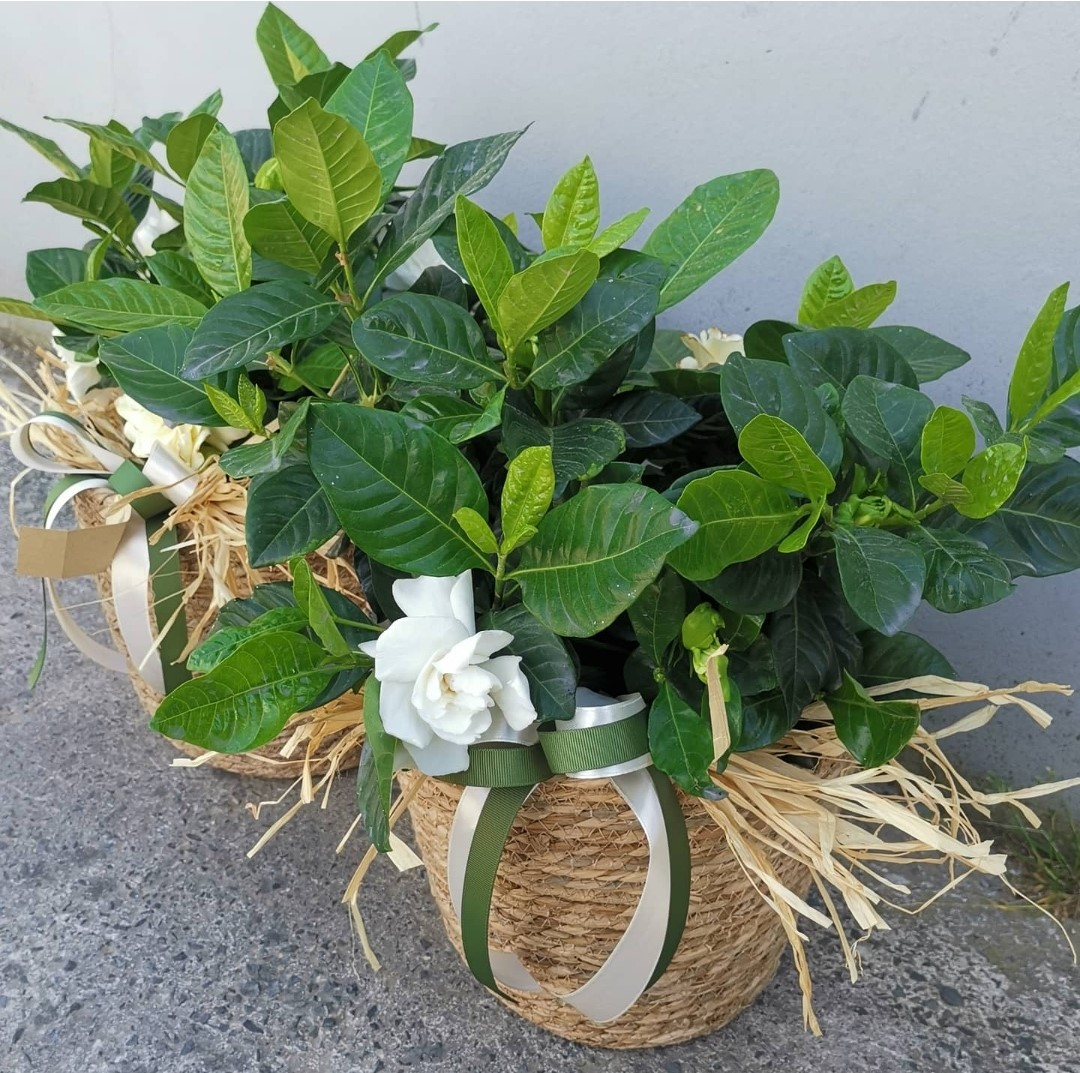 Aromatic Gardenia - Ceramic Pot or Basket