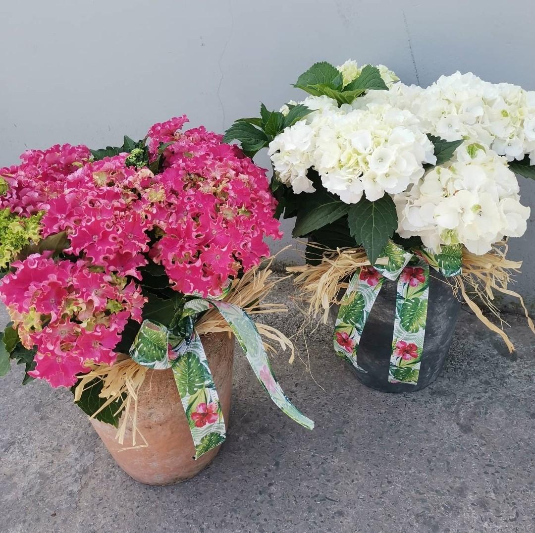 Hydrangea in Ceramic Pot
