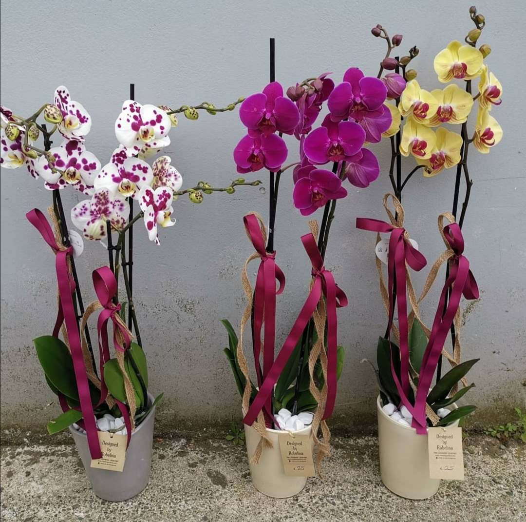 A Double Orchid in a Ceramic Pot