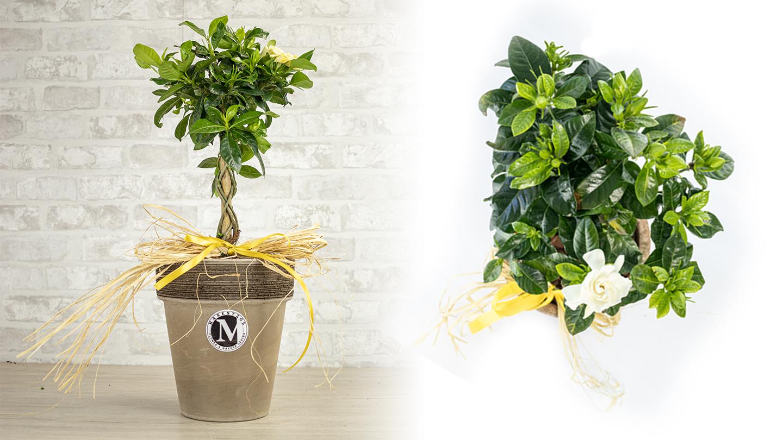 Stem Gardenia