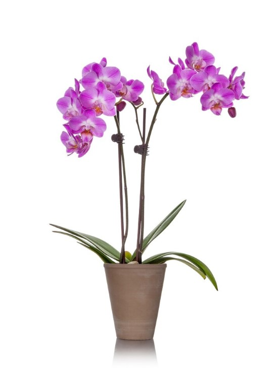 Lilac Orchid In A Clay Jar