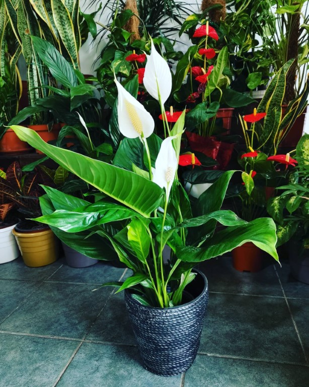 Spathiphyllum In A Clay Pot