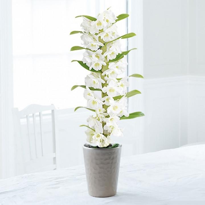 Dendrobium Orchid In Clay Jar