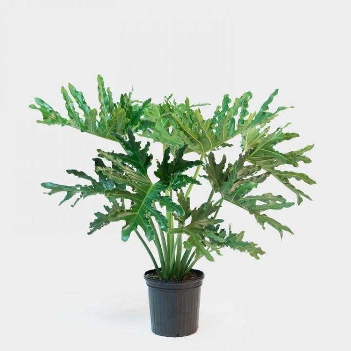 Phyllodentron Selloum Big Plant