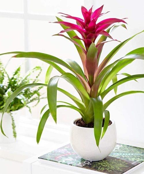Guzmania Plant In Clay Pot