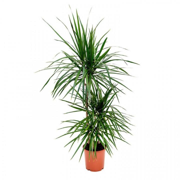 Dracena 3 Stem Plant