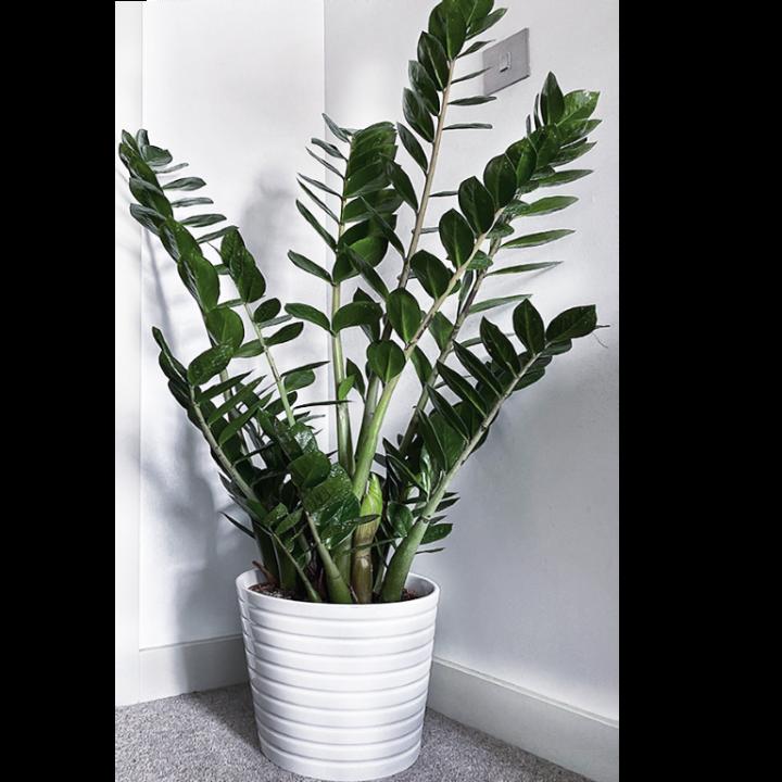 Zamioculcas  Big Plant In Glay Pot