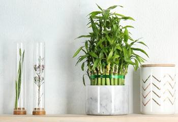 Lucky Bamboo Stem In White Ceramic Pod